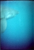 Great White on the wreck of the Atlas Tanker 2000
