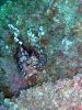 Lionfish Roundup